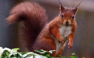 red-squirrel_1387990c